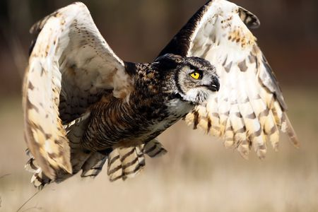 horned: Closeup of a Great Horned Owl in flight. Stock Photo
