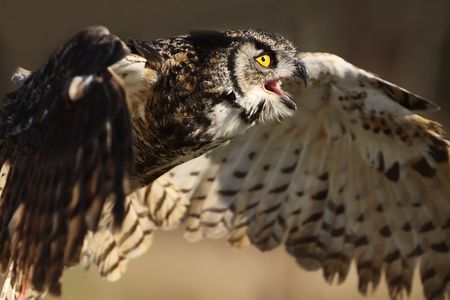 horned: Angry Great Horned Owl in flight.