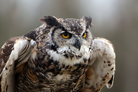 Closeup of a Great Horned Owl