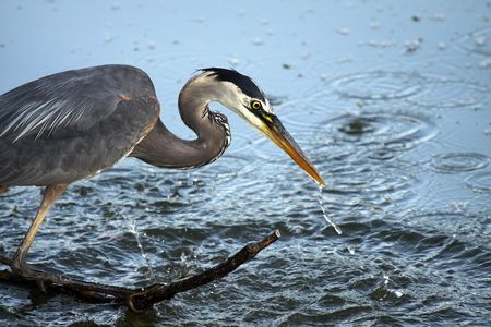 Great Blue Heron fishing in a pond. photo