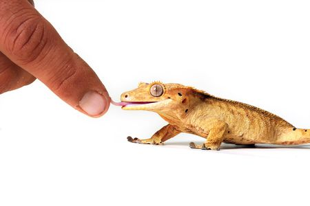 Crested Gecko licking a person's finger.  Isolated on white.