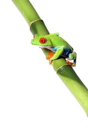 Red-Eyed Tree Frog on Bamboo photo