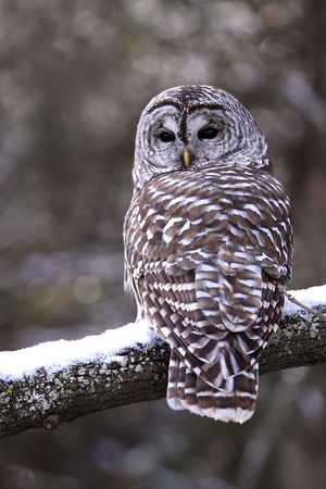 barred: Curious Barred Owl on snowy branch. Stock Photo