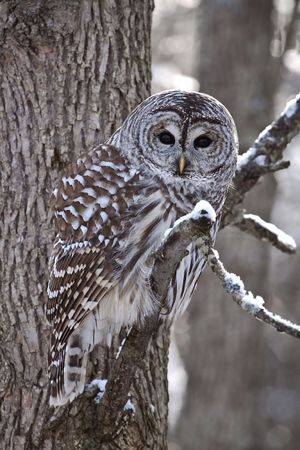 barred: Barred Owl looking at the camera Stock Photo