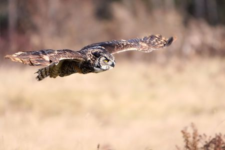 Great Horned Owl in flight photo