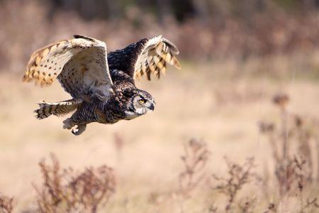 bird of prey: Great Horned Owl in flight