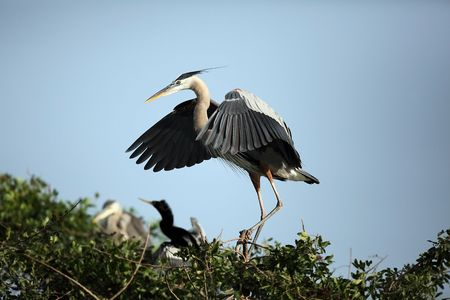flapping: Great Blue Heron flapping its wings. Stock Photo