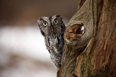 Curious Screech Owl peeking around an old tree. photo