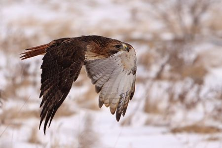 Red-Tailed Hawk In Flight Stock Photo - 6761642