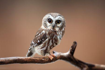 avian: Closeup of a curious Northern Saw-Whet Owl