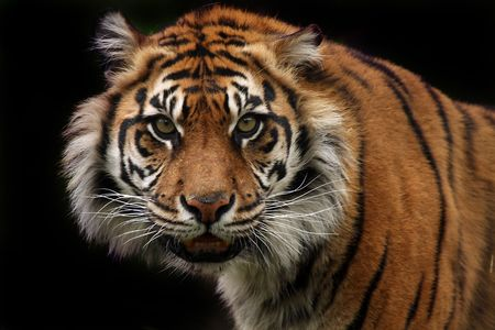 sumatran tiger: Angry Sumatran Tiger against a dark background.