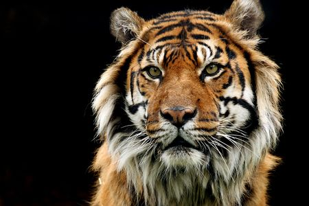 species: Closeup of a Sumatran Tiger against a black background.