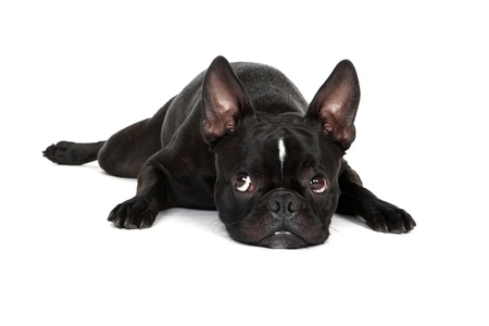 boston terrier: Froston Frenchie x Boston Terrier laying down and isolated on a white background