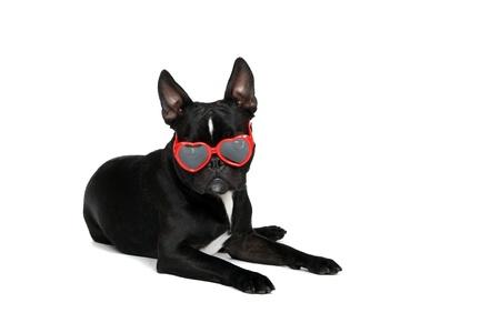 frenchie: Froston Frenchie x Boston wearing heart shaped sunglasses  Stock Photo