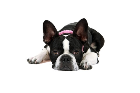 Tired Froston Frenchie x Boston Terrier resting head on the floor  photo