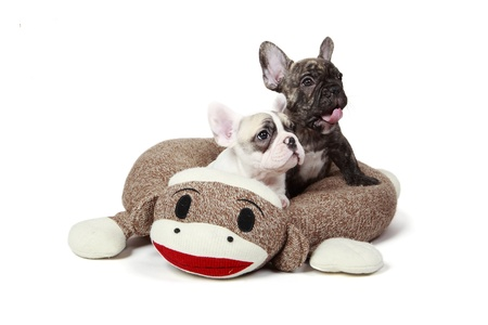 frenchie: 8 Week Old Frenchie Puppies laying in a dog bed  Stock Photo