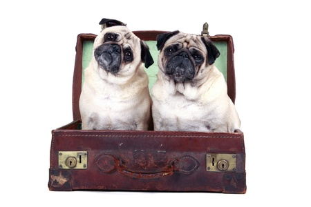 Studio portrait of two pugs sitting in an old-fashioned travel suitcase
