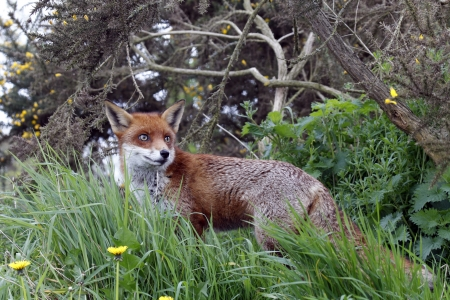 Red Fox in summer in England  photo