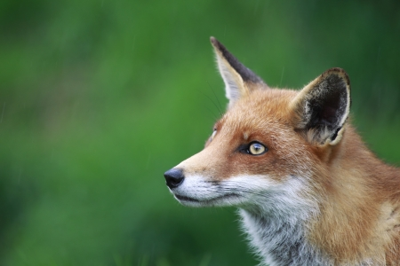 Side profile of a Red Fox in Surrey, England  photo
