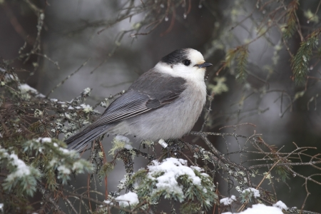 jay: Closeup of a Gray Jay in the winter in Algonquin Provincial Park, Ontario, Canada