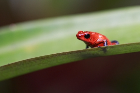 strawberry frog: Closeup of a tiny Strawberry Poison Dart Frog in Sarapiqui, Costa Rica