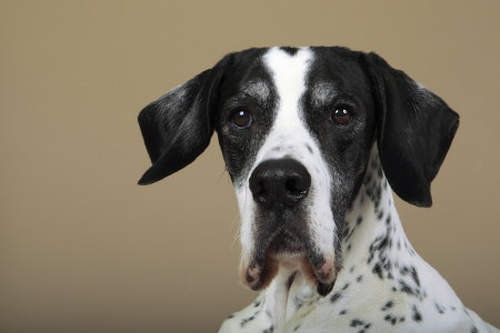 old english: Studio portrait of a 10 year old English Pointer  Stock Photo