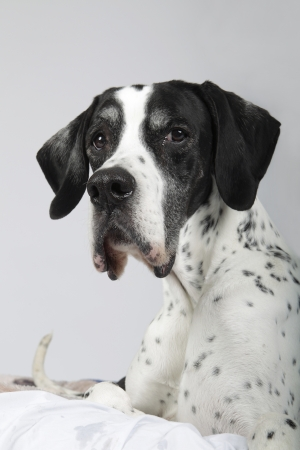 pointer dog: Studio portrait of a 10 year old English Pointer