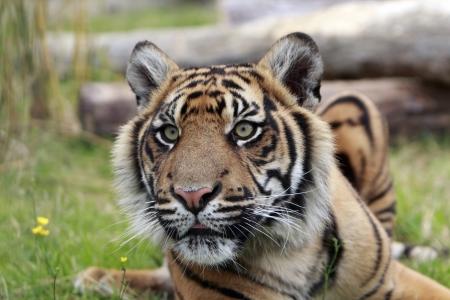 sumatran tiger: Primo piano di una tigre di Sumatra in via di estinzione Archivio Fotografico