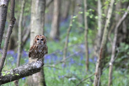 tawny owl: Tawny Owl in a forest in England  Stock Photo