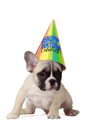 Frenchie puppy wearing a happy birthday party hat  photo