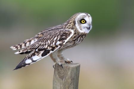 fencepost: Short Eared Owl on a fencepost