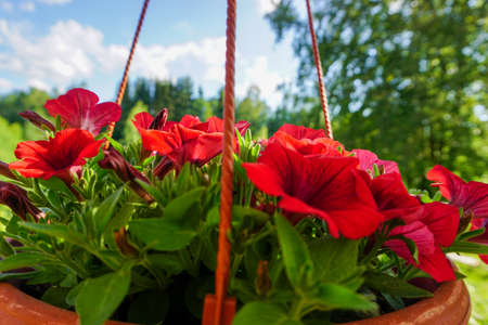 red pansies flowers