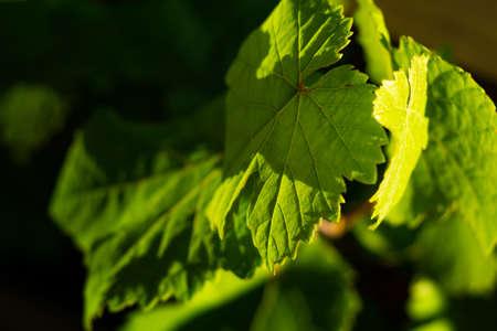 green wine leaves in detail Stockfoto
