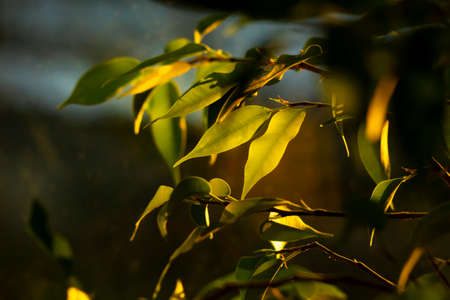 benjamin fig house plant