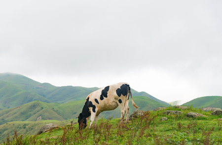 Cows grazing nature scenery landscape view Stock Photo