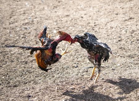 cockfighting Stock Photo