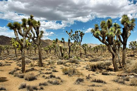 joshua tree national park: Joshua Tree National Park, Mojave Desert, California