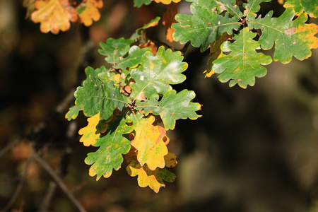 field maple: Beautiful yellow, orange and red autumn leaves, Suedbaden, Germany