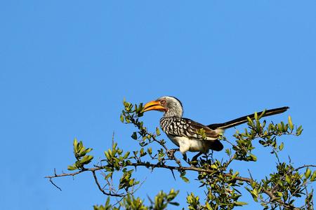Southern Yellow-billed hornbill, Kruger National Park, South Africa. Reklamní fotografie
