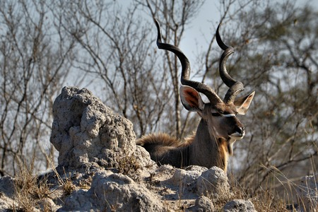 Kudu Antelope in Kruger National Park, South Africa Stock Photo