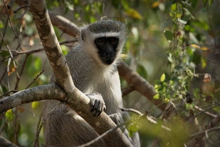humor: Vervet monkey (Cercopithecus aethiops) sitting in a tree, South Africa