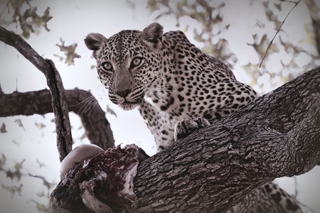 A leopard eating an antelope on a tree, Kruger National Park, South Africa