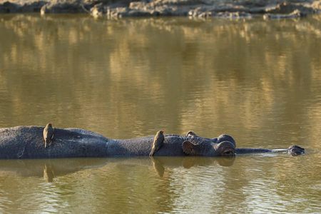 Hippopotamus with turtles on the back swimming in Sabie River, Kruger National Park, South Africa