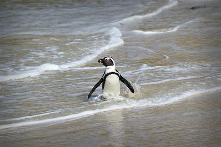 Penguins colony on Boulders Beach, Simons Town near Cape Town, South Africa. Stock fotó