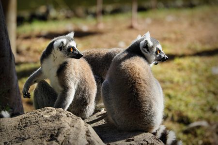Ring-tailed lemur (lemur catta), South Africa Stock Photo