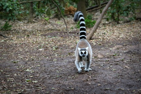 Ring-tailed lemurs in South Africa