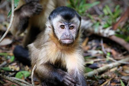 Black capuchin monkeys in South Africa