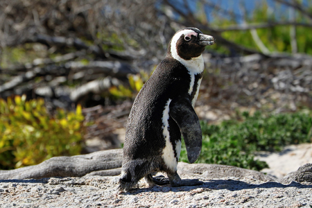 Penguins colony on Boulders Beach, Simons Town near Cape Town, South Africa. Stock Photo