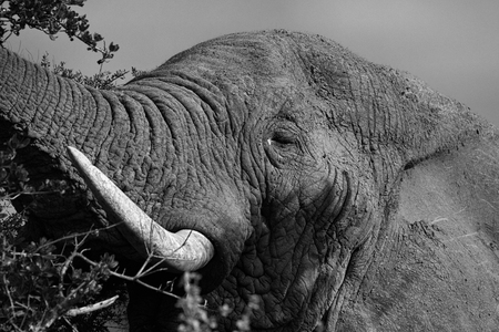 Close up of Elephants in the Addo Elephants National Park, South Africa. 免版税图像