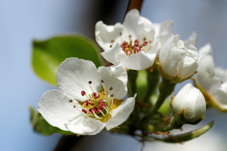 White blossom as first sign of spring, Germany